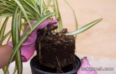 خارج کردن گیاه عنکبوتی از گلدان