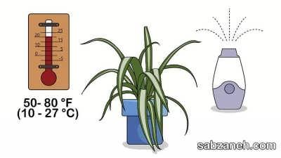 دمای مناسب برای نگهداری گل عنکبوتی