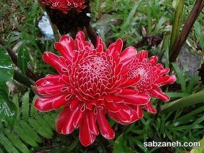 نور و خاک گل زنجبیلی