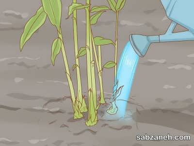 پرورش گل زنجبیلی