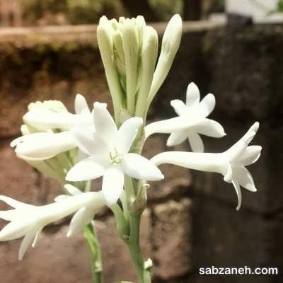 پرورش گل مریم در منزل