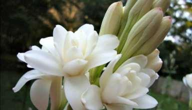 مراحل کاشت گل مریم