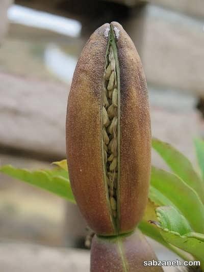 بذر نخل ماداگاسکار