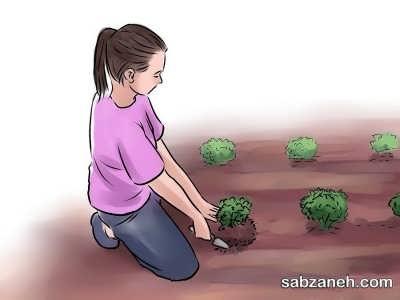نحوه جای گذاری بذر بادام زمینی