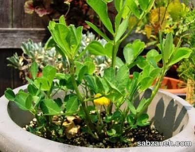 کاشت بادام زمینی در گلدان