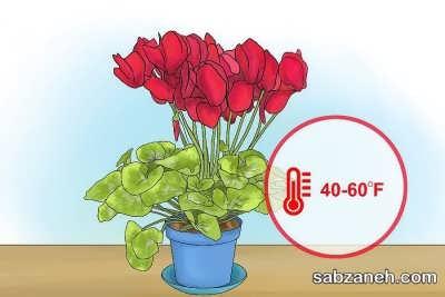 دمای مناسب برای گیاه سیکلامن