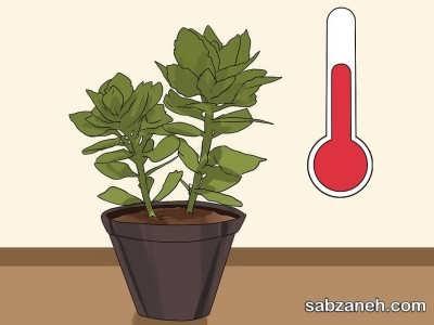 شرایط نگهداری از گل کالانکوآ