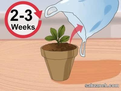 مدت زمان لازم برای ریشه زایی گل کالانکوآ