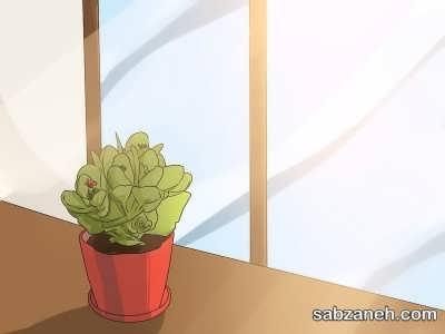 نور متوسط و نگهداری از گل کالانکوآ