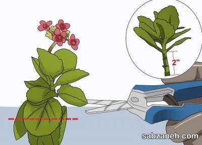 انتخاب قلمه مناسب برای گل کالانکوآ