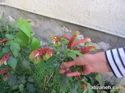شرایط مناسب برای قلمه زدن گل مشعلی