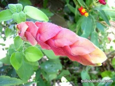 پرورش گل مشعلی