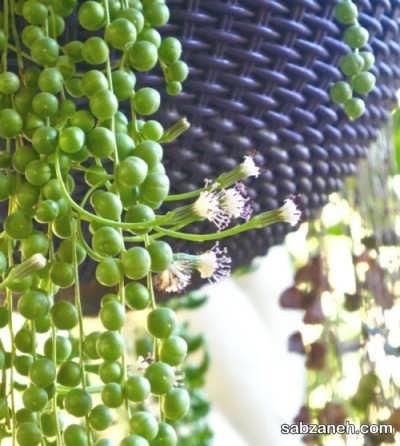 وضعیت نوردهی به گیاه سنسیو