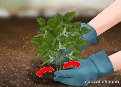 محکم کردن ریشه گیاه در خاک