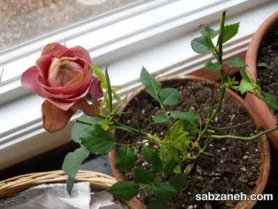 از بین بردن آفات گل رز