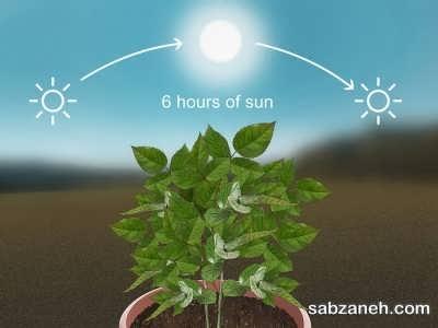 نور مناسب برای پرورش گل ساناز