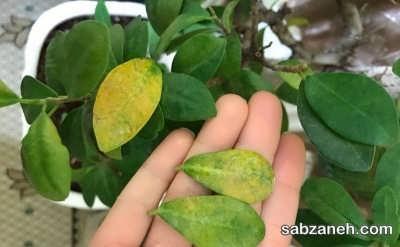 زرد شدن برگ های پیرومیا و ریزش آن