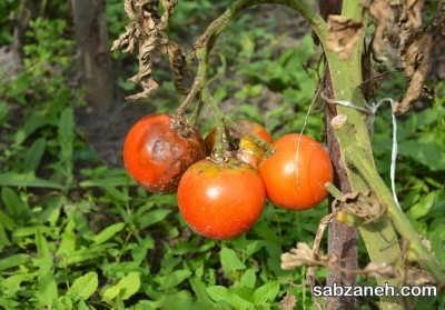 شرایط محیطی مناسب برای کاشت گوجه فرنگی