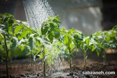 آبیاری گوجه فرنگی