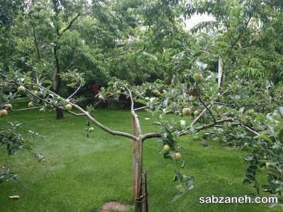 پیوند زدن درخت
