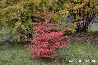 قلمه زدن زرشک در فصل پاییز