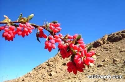 کاشت زرشک در مناطق کوهستانی