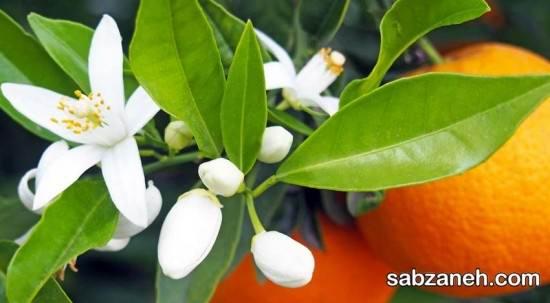 آموزش کاشت و پرورش درخت نارنج