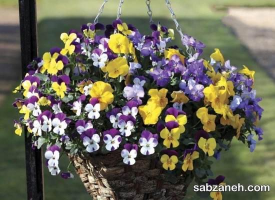 پرورش و کاشت گل بنفشه در منزل