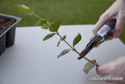 روش خوابانیدن در تکثیر گل یاس