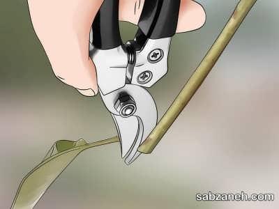 برش قلمه ها در طول 10 تا 20 سانتی متر