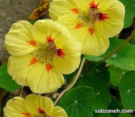 چگونگی کاشت و پرورش گل لادن