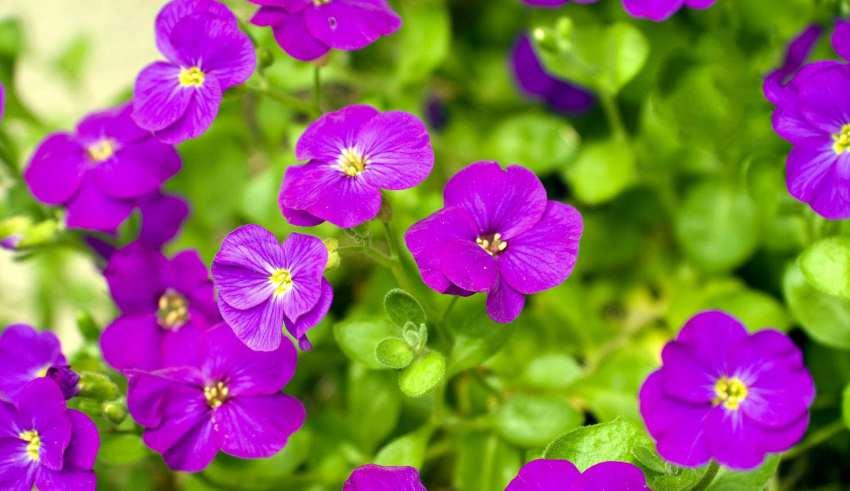 پرورش و کاشت گل بنفشه