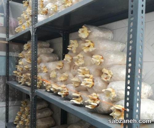 پرورش قارچ گانودرما در اتاق های کوچک