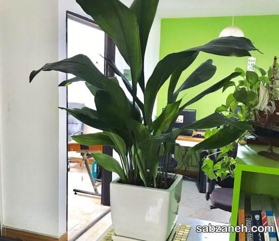 برگ عبایی گیاهیی زینتی و آپارتمانی