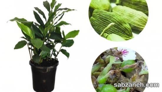 مزایای ارزشمند گیاه هل