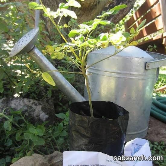 کاشت درخت مورینگا و نگهداری از آن