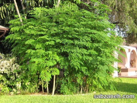 پرورش درخت زیبای مورینگا
