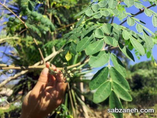 کاشت درخت مورینگا در شرایط مناسب