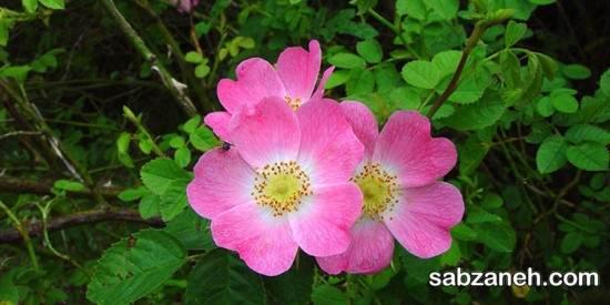 اصول مهم در کاشت و پرورش گل نسترن