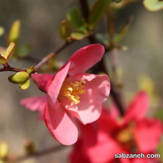 کاشت بذر گل نسترن
