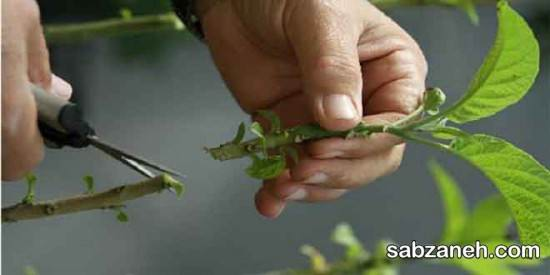 کاشت، پرورش و نگهداری گل نسترن