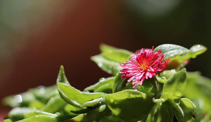کاشت گل یخ و پرورش آن