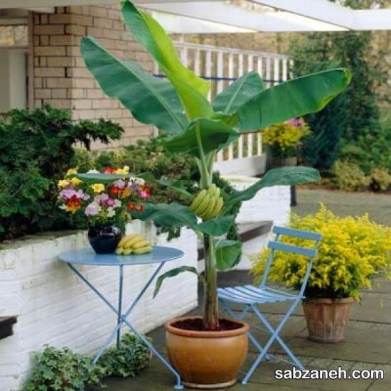 کاشت درخت موز و اصول مهم در نگهداری آن