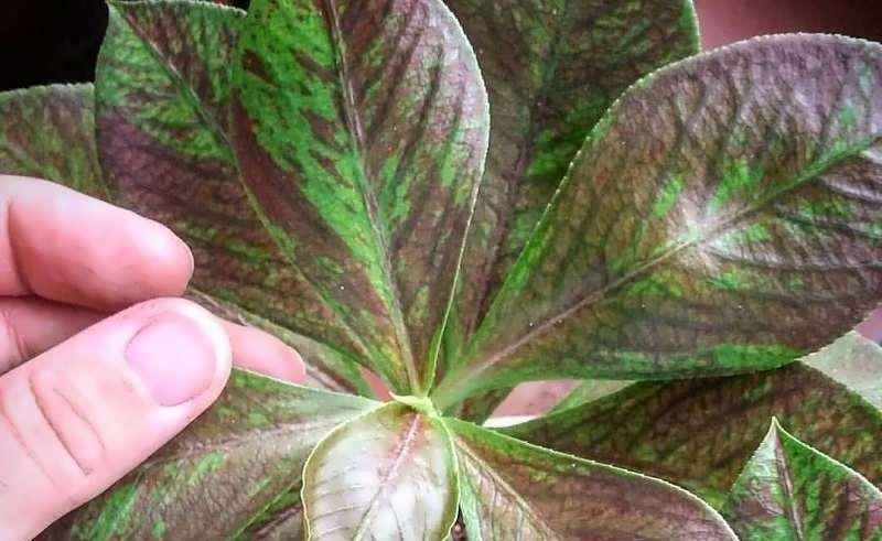 تکثیر گل فردوس و نکات مهم در مورد این گیاه