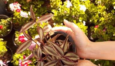اصول مهم در تکثیر گیاه برگ بیدی