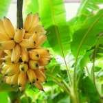 کاشت درخت موز