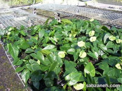 رشد و پرورش گل آنتوریوم