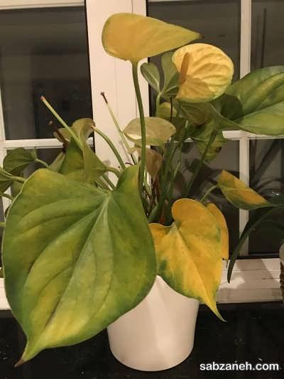 آفت و بیماری های گل آنتوریوم