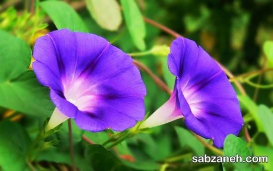 نکات مهم در رابطه مراقبت از گل نیلوفر