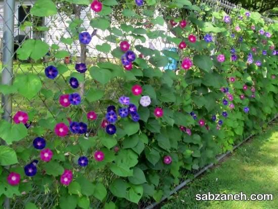 چگونه به پرورش گل نیلوفر بپردازیم